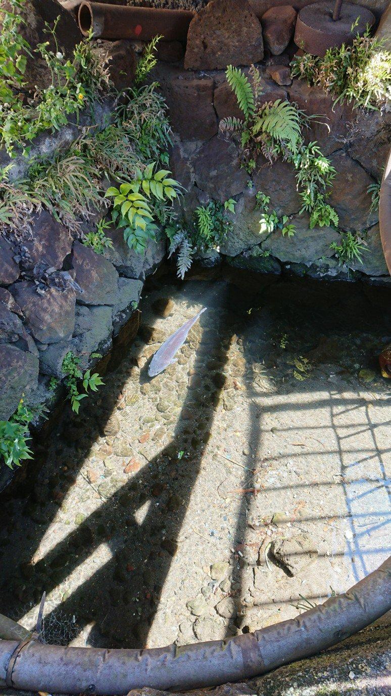 排水溝の鯉