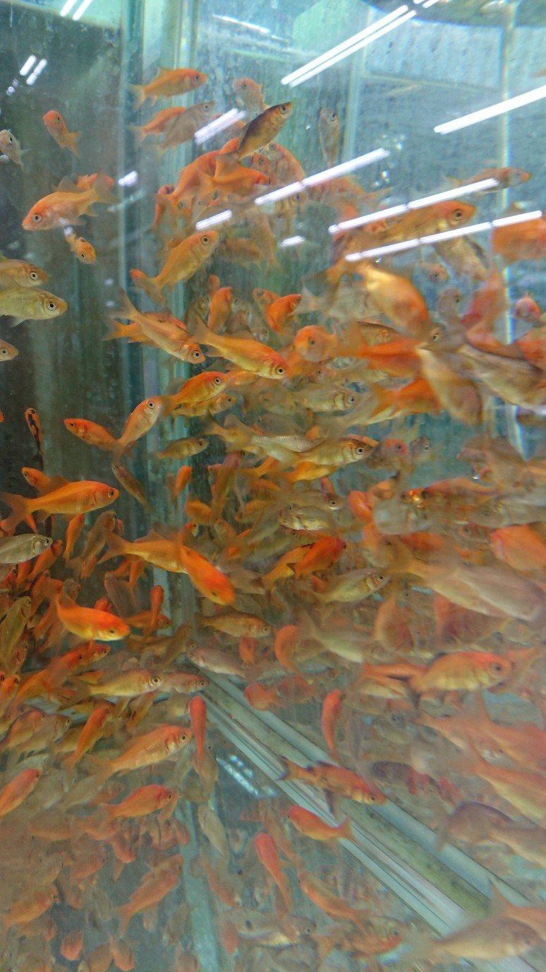 ホームアシストの金魚