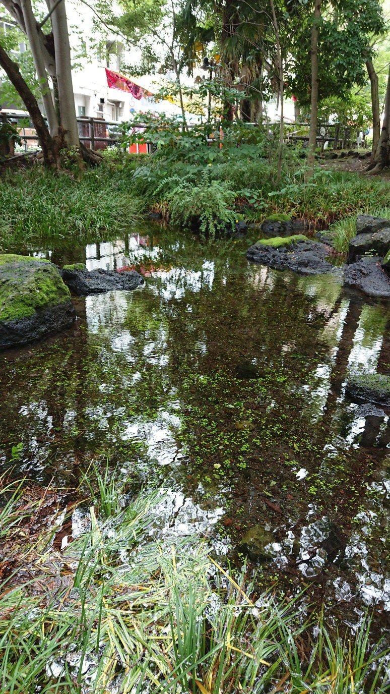 白滝公園の水草の芽